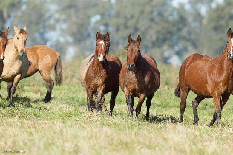 Resultado de imagen para caballos criollos